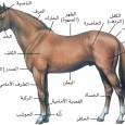 الحصان العربي الأصيل يمتاز الحصان العربي بالجمال الفائق الذي يميزه عن بقية الخيول في العالم. فمن الصفات الجميلة في الحصان العربي أنه يمتاز بوجه صغير جميل، وعينين واسعتين، وأذنين صغيرتين، […]